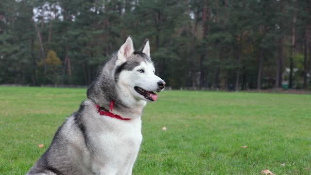 un husky siberiano per una passeggiata. - cane husky video stock e b–roll