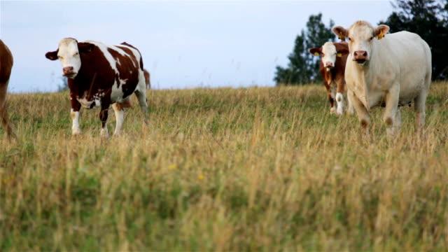 bir beyaz inek sürüsü inek ile stand - meme hayvan vücudu bölümleri stok videoları ve detay görüntü çekimi