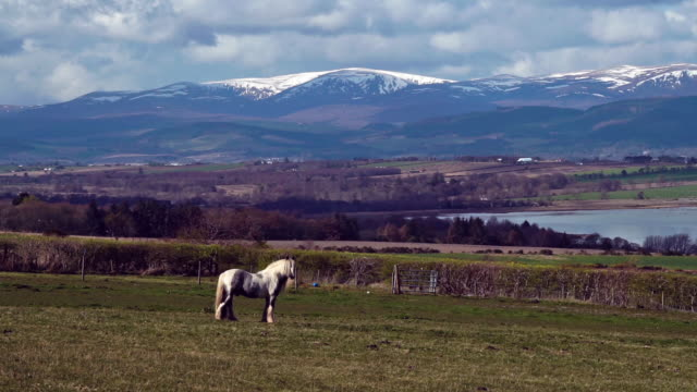 one white horse in a field near ben wyvis munro mountain scottish highlands uk - paesaggio collinare video stock e b–roll