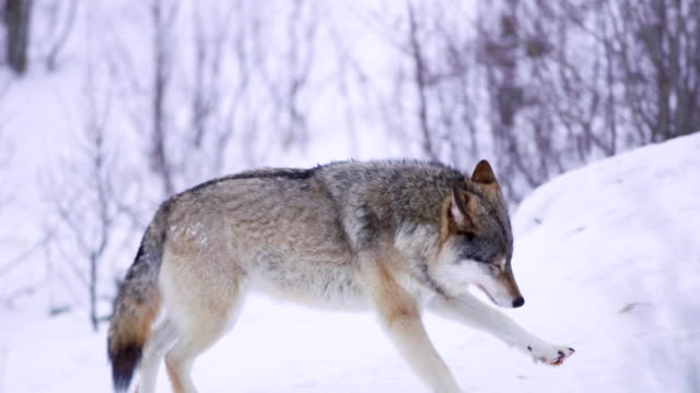 one wolf running in forest - lupo video stock e b–roll