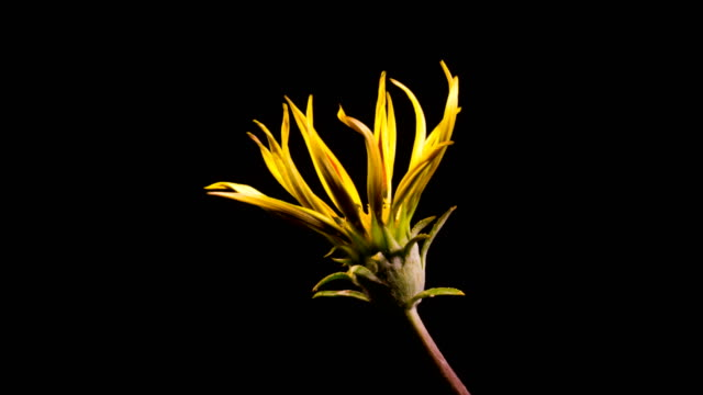 One Yellow Flower Blooming And Fading on black background timelapse