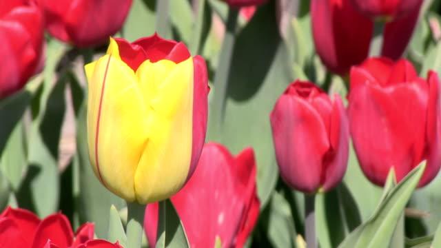 One yellow tulip video