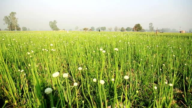 onion crop field video