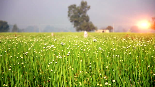 onion crop Fresh onion crop field outdoor in nature. onion stock videos & royalty-free footage
