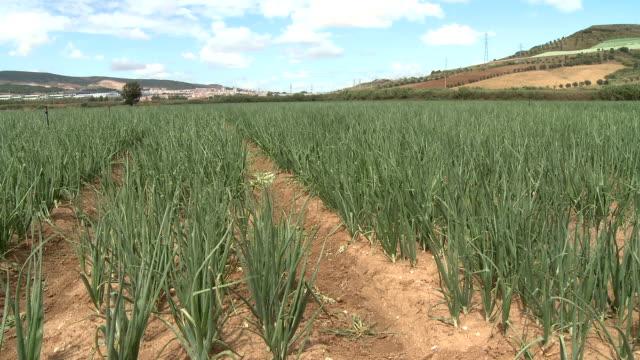Onion field plantation video