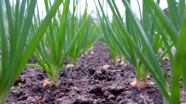cipolle che crescono in giardino in una fila in terreno aperto in fattoria, vista laterale. - cipolla video stock e b–roll