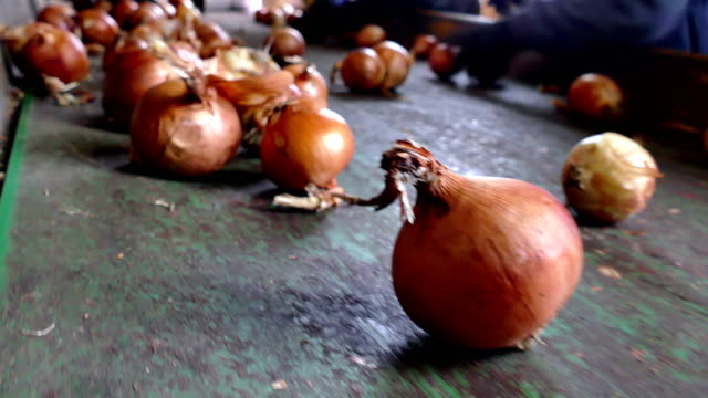Onions on the Line for Selection Workers on the conveyor belt select  of the domestic red onion onion stock videos & royalty-free footage