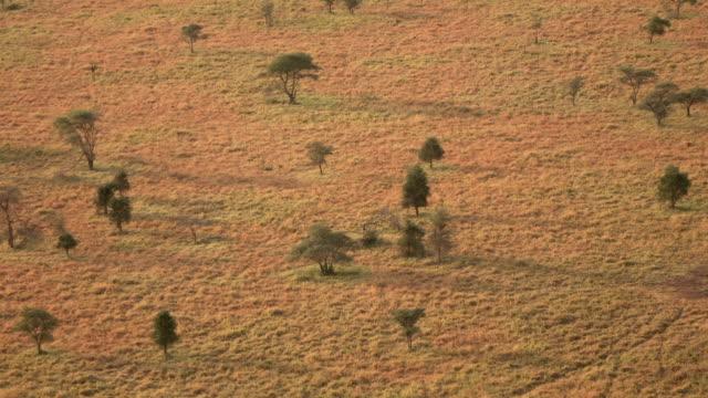 antenne: offene akazien wald punktierung weiten kurzen rasen savanne ebene im morgengrauen - afrikanische steppe dürre stock-videos und b-roll-filmmaterial