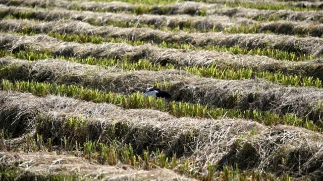 Openbill Stork bird eating seed rice in plantation