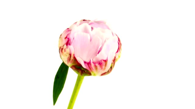 opening peony time lapse video