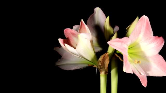 opening white amaryllis - amaryllis bildbanksvideor och videomaterial från bakom kulisserna