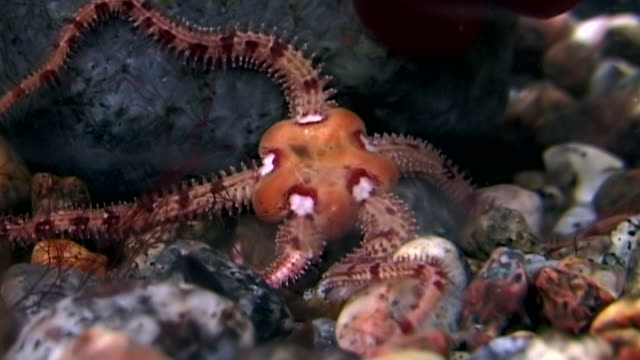 ophiura robusta starfish close up underwater on seabed of white sea. - immerse in the stars video stock e b–roll