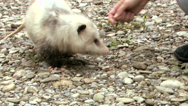 Best Possum Stock Videos and Royalty-Free Footage - iStock