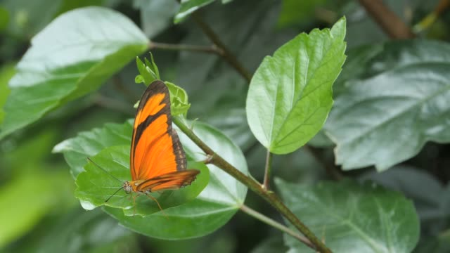 Orange and black butterfly opens and closes its wings video