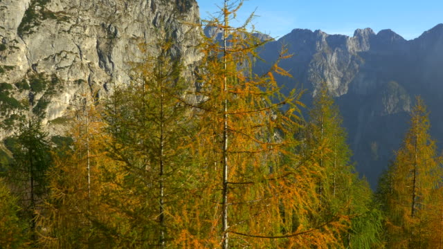 AERIAL: Orange and yellow autumn trees in the mountains video