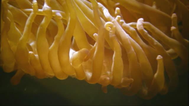 Orange Anemone version E-HD – Video