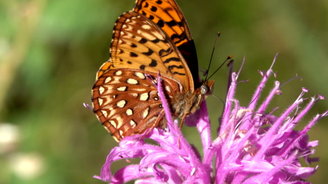 Orange Aphrodite firtillary butterfly on bee balm horsemint wildflower Evergreen Colorado video