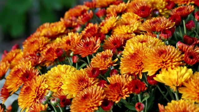 vídeos y material grabado en eventos de stock de naranja otoño crisantemos bush. - tiesto