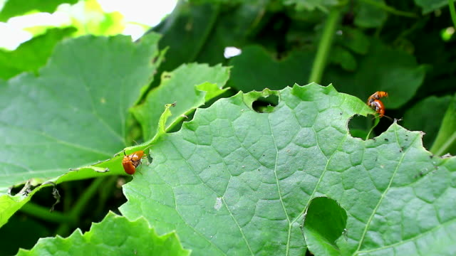 stockvideo's en b-roll-footage met orange bug mating - ongewerveld dier