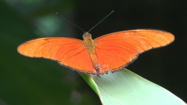 Orange buttefly macro