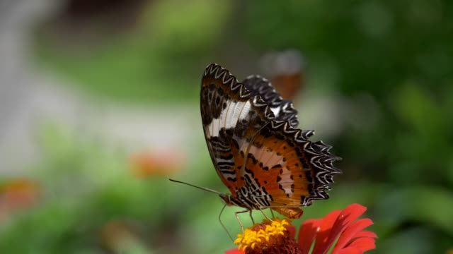 Orange butterfly is sucking honey dew from the red flower and flying away. Blurred green floral background. Slow motion shot