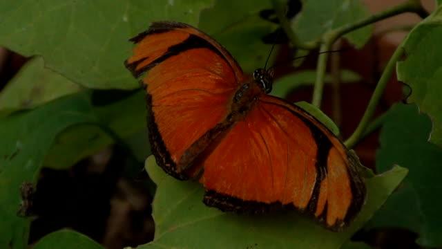 Orange Butterfly on leaf. Orange tiger (Dryadula phaetusa) - Brazilian pantanal wetlands.