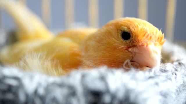 vídeos y material grabado en eventos de stock de orange canary en el nido - ojo morado