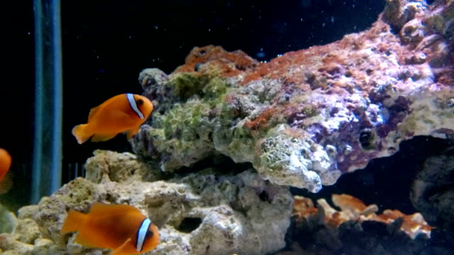 orange clown fische schwimmen - vorratstank stock-videos und b-roll-filmmaterial