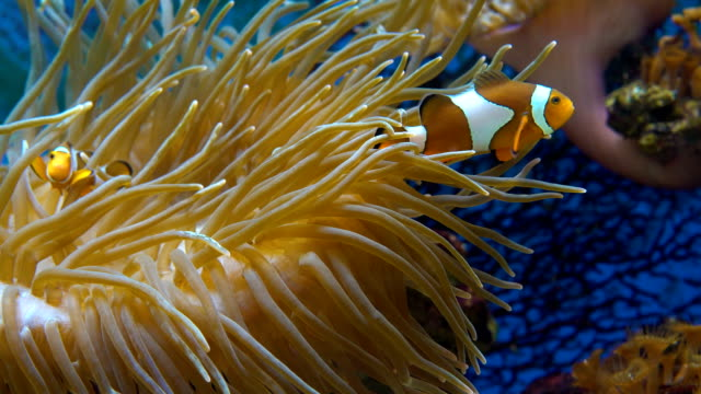 Orange clownfish in the anemone. Orange clownfish. Amphiprion percula swims between the tentacles of the sea anemone. Close up. reef stock videos & royalty-free footage