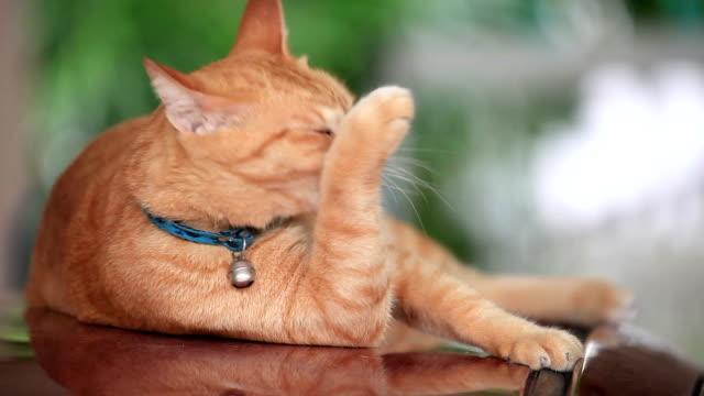 colorato arancione gatto leccare il suo corpo per pulire. - leccare video stock e b–roll