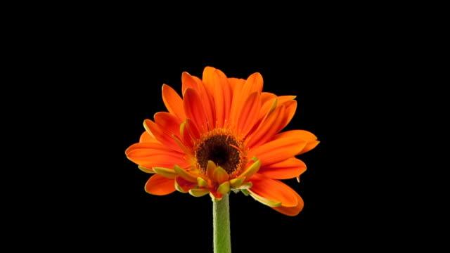 Orange Daisy Time Lapse video