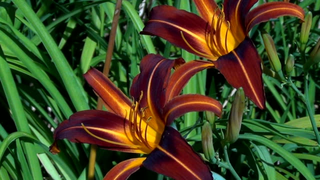 Orange day-lily (Hemerocallis fulva) garden