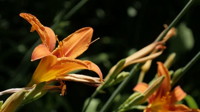 Orange day-lily plant close-up 4K