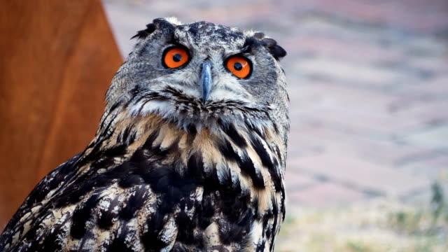 Orange eyes Eurasian eagle-owl - outdoor portrait of Orange eyes Eurasian eagle-owl - outdoor bird of prey stock videos & royalty-free footage