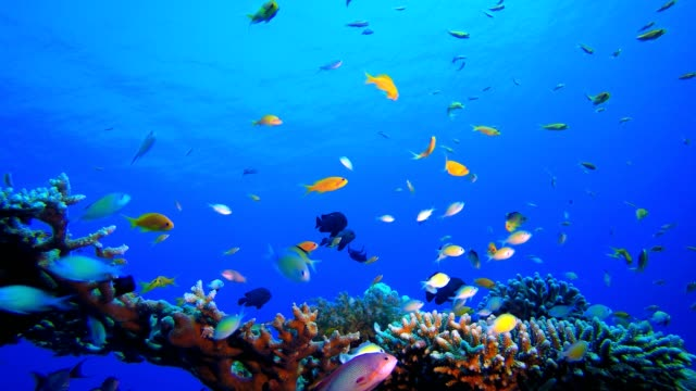 Orange Fish Blue Sea Water Tropical fish reef marine. Soft-hard corals seascape. Vibrant coral garden. Reef coral scene. Beautiful soft coral. Sea coral reef. Soft coral broccoli. Coral scene aquatic organism stock videos & royalty-free footage