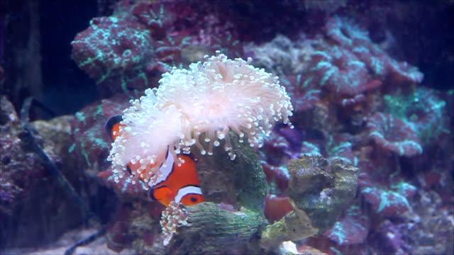 vídeos y material grabado en eventos de stock de orange pescado nemo s'escapan de peligro en mar flores. - misa