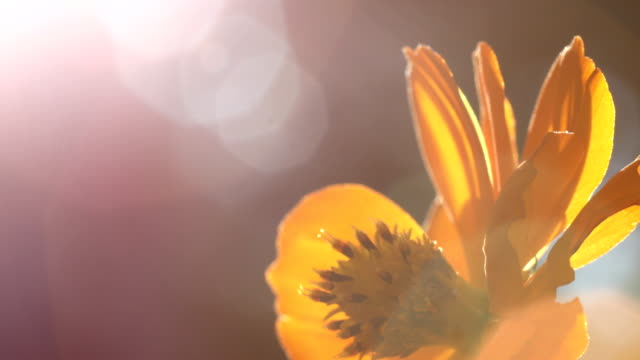 orange flower in the morning orange flower in the morning daylight savings stock videos & royalty-free footage