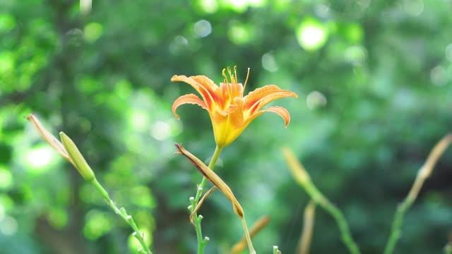 orange flower Lily on a natural background. bell in the lower part,orange flowers,orange fire lilylilium bulbiferum