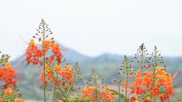 Orange flower That sway in the wind in garden Background mountains.