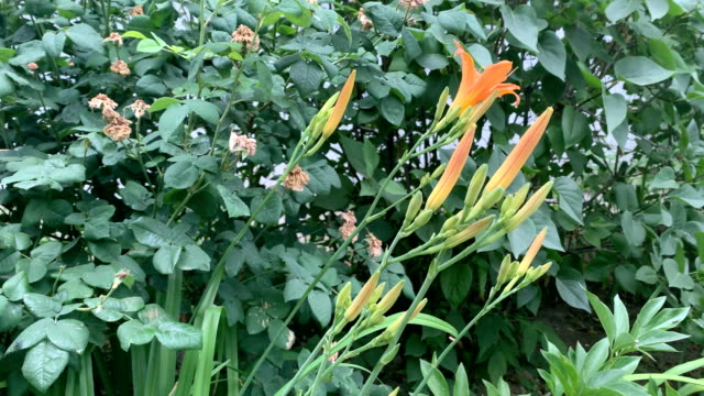 orange flower video