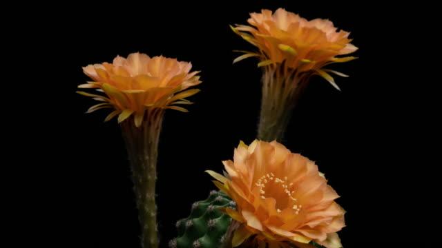 Orange Flowers Echinopsis Time-lapse