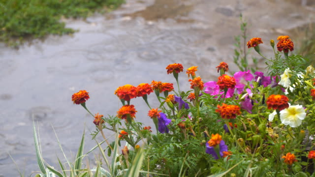 orange flowers marigold against the background of raindrops in a puddle - gardino video stock e b–roll