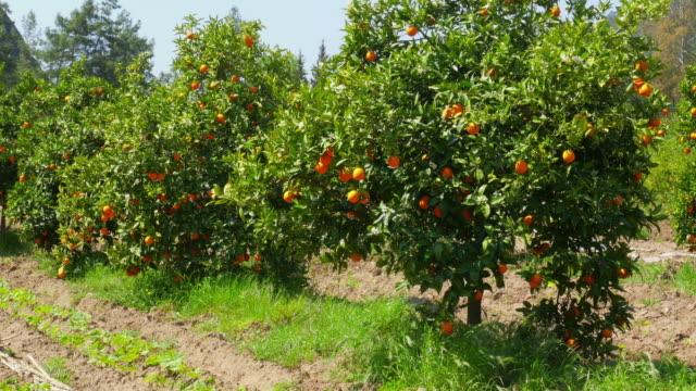 Orange fruit at branch of tree, spring season, sunny day video