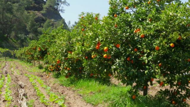 pomarańczowe owoce na oddział drzewo wiosna sezon, słoneczny dzień - brzoskwinia drzewo owocowe filmów i materiałów b-roll