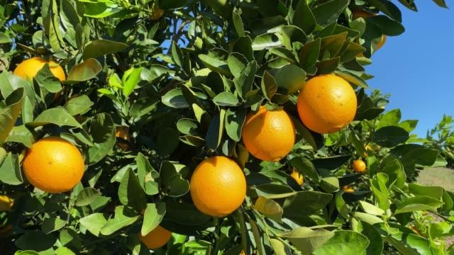 apelsinfrukt i träd - apelsin bildbanksvideor och videomaterial från bakom kulisserna