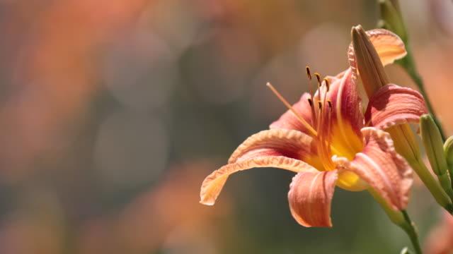 Orange Hemerocallis flower