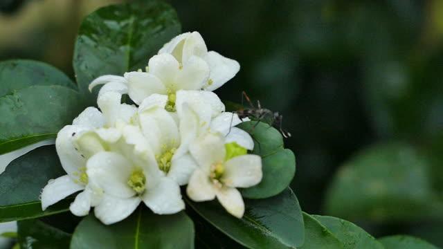 orange jasmin (murraya paniculata) in voller blüte auf baum mit insekt - jasmin stock-videos und b-roll-filmmaterial