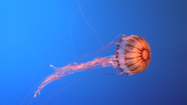 Orange jellyfish video