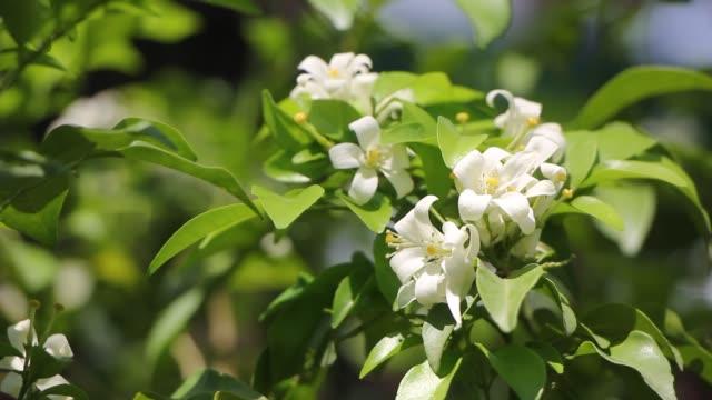 Oranje Jessamine bloemen en groen blad video