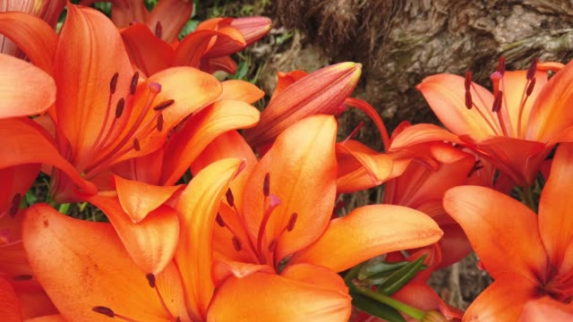 Orange Lilly flower bloom in garden.